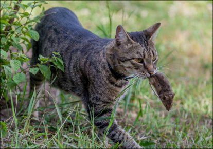 Кот с мышкой в зубах