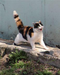 Кот шипит и распушил хвост