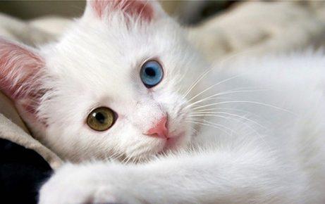 Котёнок с гетерохромией