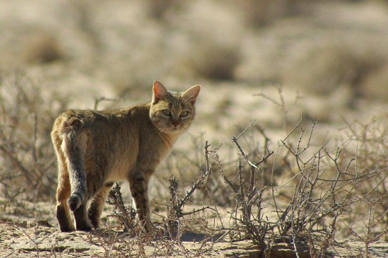 найдете множество котята дикой степной кошки фото возвращаемся окно