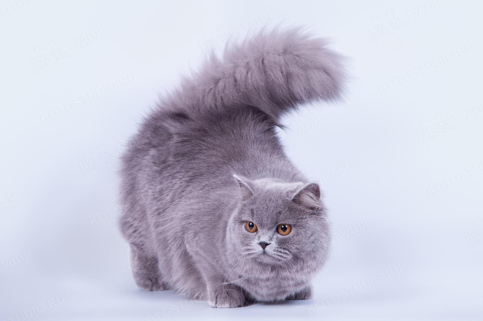 Длинношерстные коты картинка
