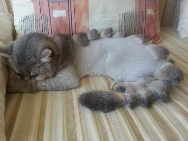 Подстриженный кот