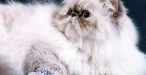 Персидский кот с браслетом