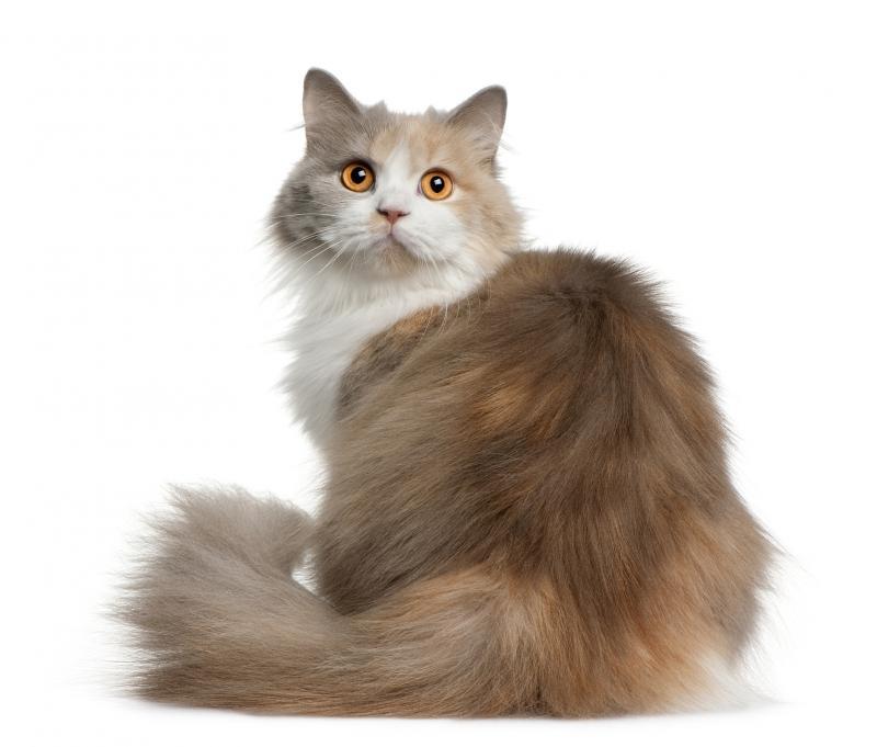 Породы кошек длинношерстных