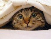Кот выглядывает из-под одеяла
