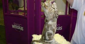 Шоколадный мраморный мист стоит на задних лапках