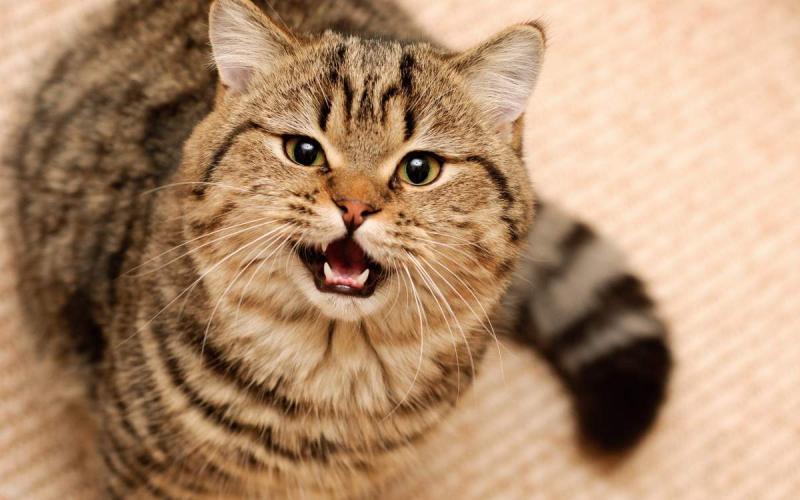 Из-за чего кошка не может поднять хвост?