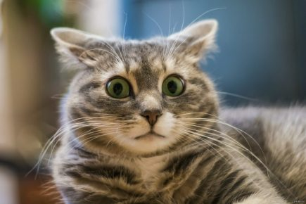 Кот с поджатыми ушами