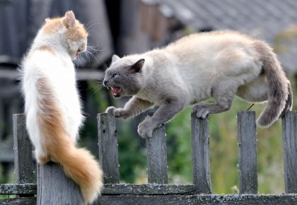 Кошки дерутся