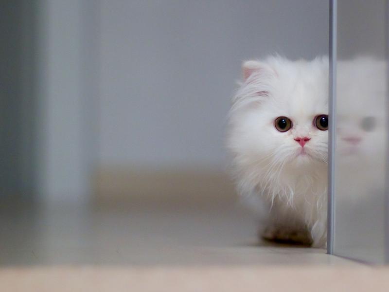 Колтуны и волосяные катышки у кошек - симптомы, лечение, препараты, причины появления