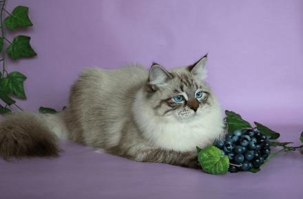 Невская маскарадная кошка лежит