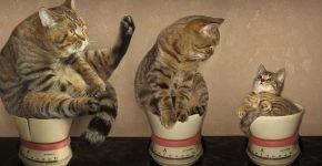Кошки взвешиваются