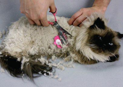 Руки человека выстригают ножницами колтун у кошки