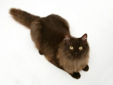 Йоркская кошка лежит