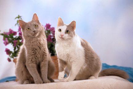 Лиловая и лиловая с белым йоркские кошки сидят