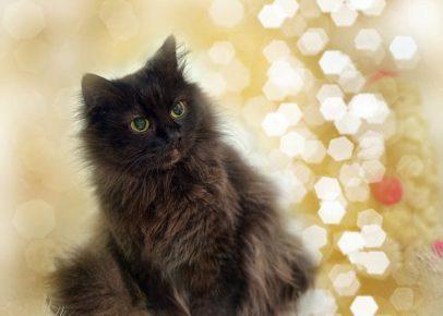 Йоркская кошка в сиянии