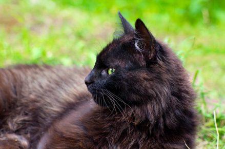 Йоркская кошка лежит на траве