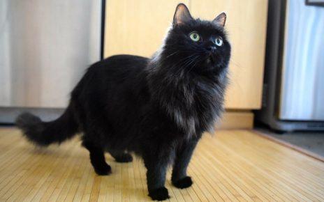 Йоркская шоколадная кошка стоит