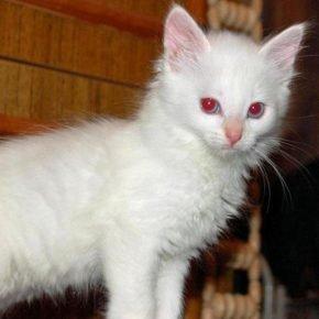 Котёнок-альбинос