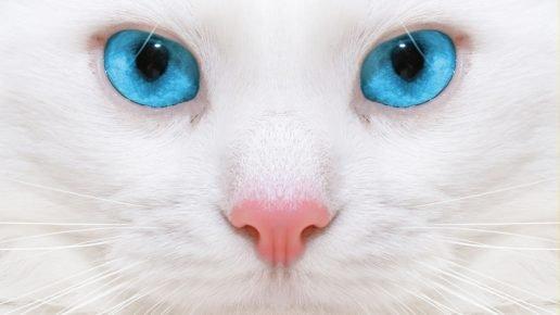 Белая кошка с ярко-голубыми глазами