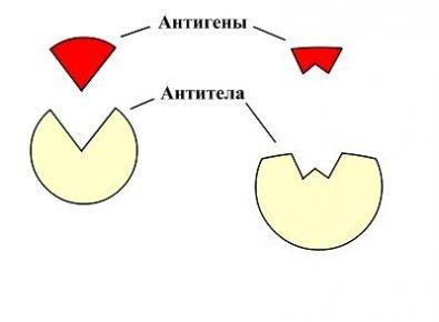 Антигены и антитела (схема)