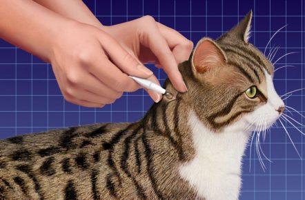 Нанесение лекарства на холку кота