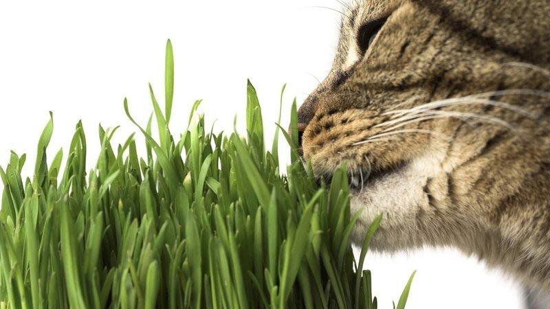 Трава для кошек и котов: зачем и какая нужна, как вырастить