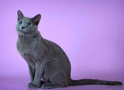 Породы кошки крысоловы порода thumbnail