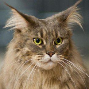Кот с большими ушами
