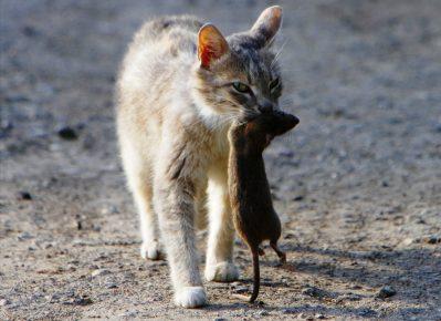 Кот с пойманным грызуном