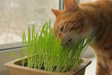 Кот грызёт ростки овса