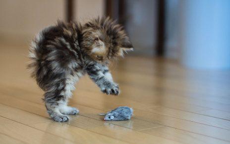 Котёнок играет
