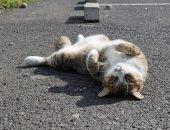 Кошка дышит открытым ртом на жаре