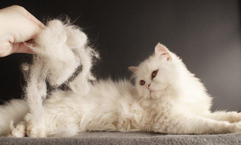 Линька у кошек - что это, как бороться (витамины, капли, шампунь)