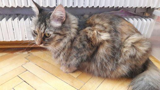 Весенняя линька у кошки