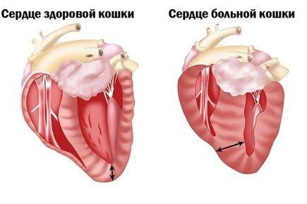 Гипертрофическая кардиомиопатия у кошки