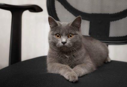 Кошка метис британца