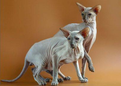 Кошки породы петербургский сфинкс
