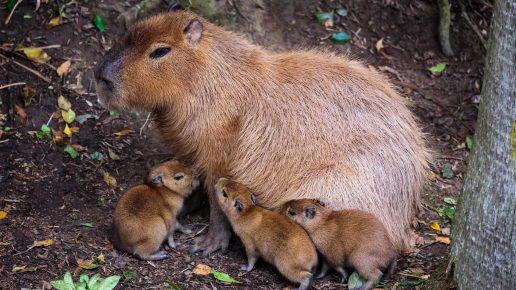 Капибара-мама с тремя детёнышами