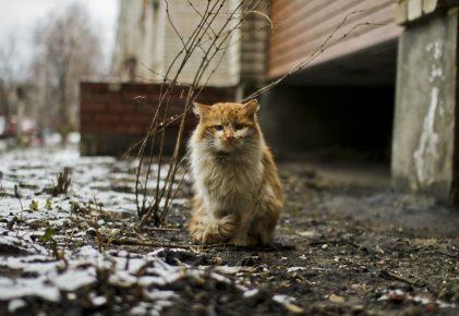 Длинношёрстный кот