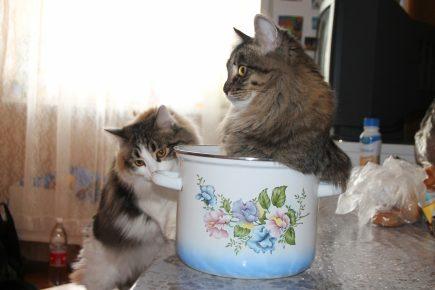 Беспородные кошки на кухне