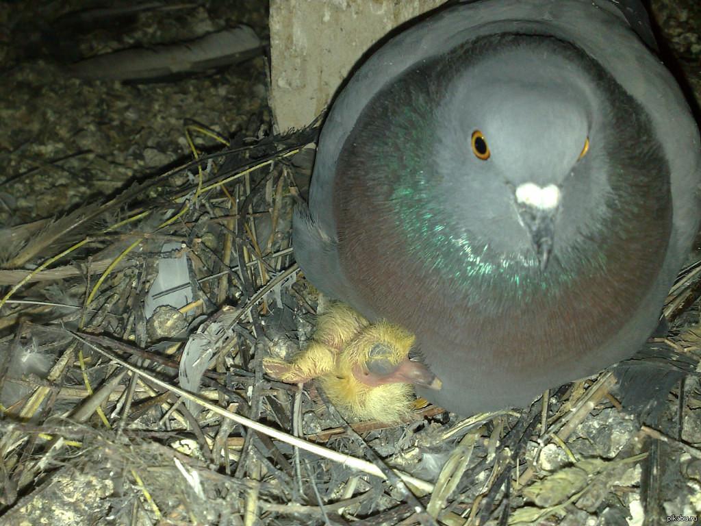 картинка маленького голубя невозможное все