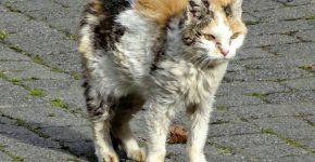 Грязный трёхцветный кот