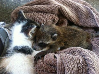 Енот с котёнком