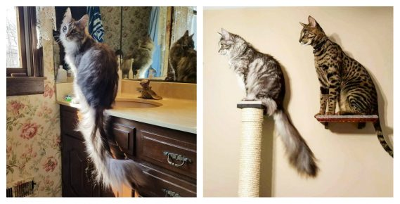 Сигнус — кот с самым длинным хвостом
