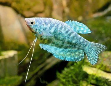 Мраморный голубой гурами