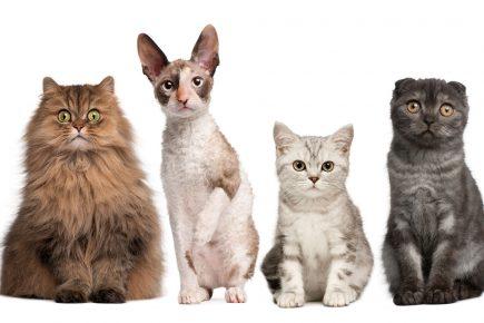 Породистые котики