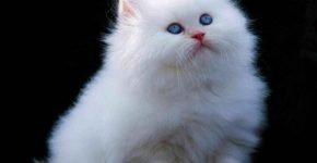 Котёнок гималай