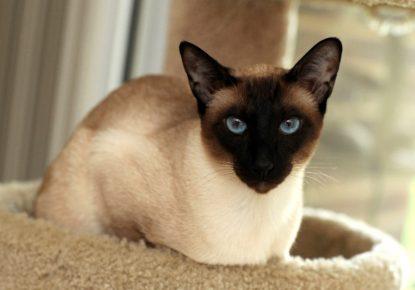 Сиамская кошка с окрасом чоколат-пойнт