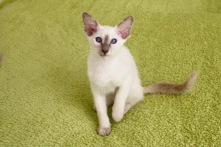 Балинезийская кошка с окрасом lilac-point